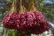 আরবের খেজুর চাষে সফল শরীয়তপুরের সোলাইমান