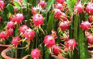 পটুয়াখালীতে ড্রাগন ফল চাষের সম্ভাবনা